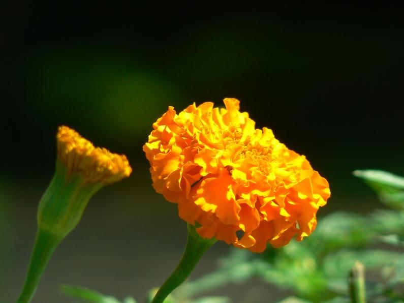 AfricanMarigold