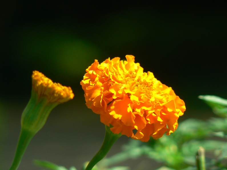 AfricanMarigold