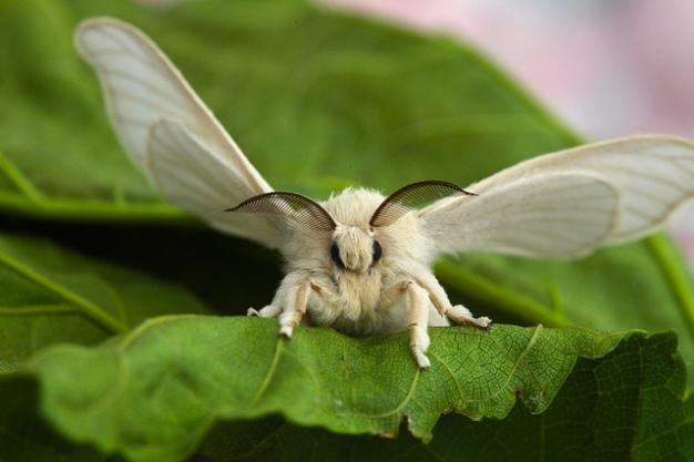 SilkwormMoth