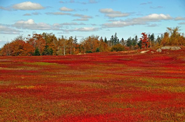 Wild_blueberry_fields_in_the_fall_near_Parrsboro