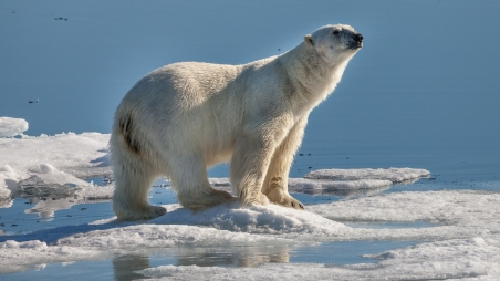 Polar_bear_near_Sjuøyane_with_a_typical_gesture_assessing_the_situation