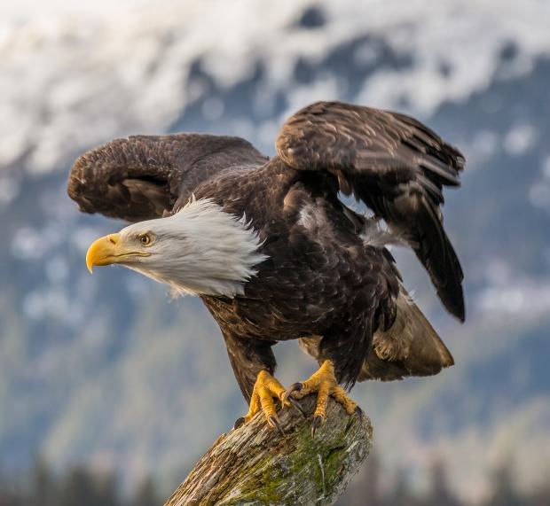 Bald_Eagle_(Haliaeetus_leucocephalus)_in_Kachemak_Bay,_Alaska